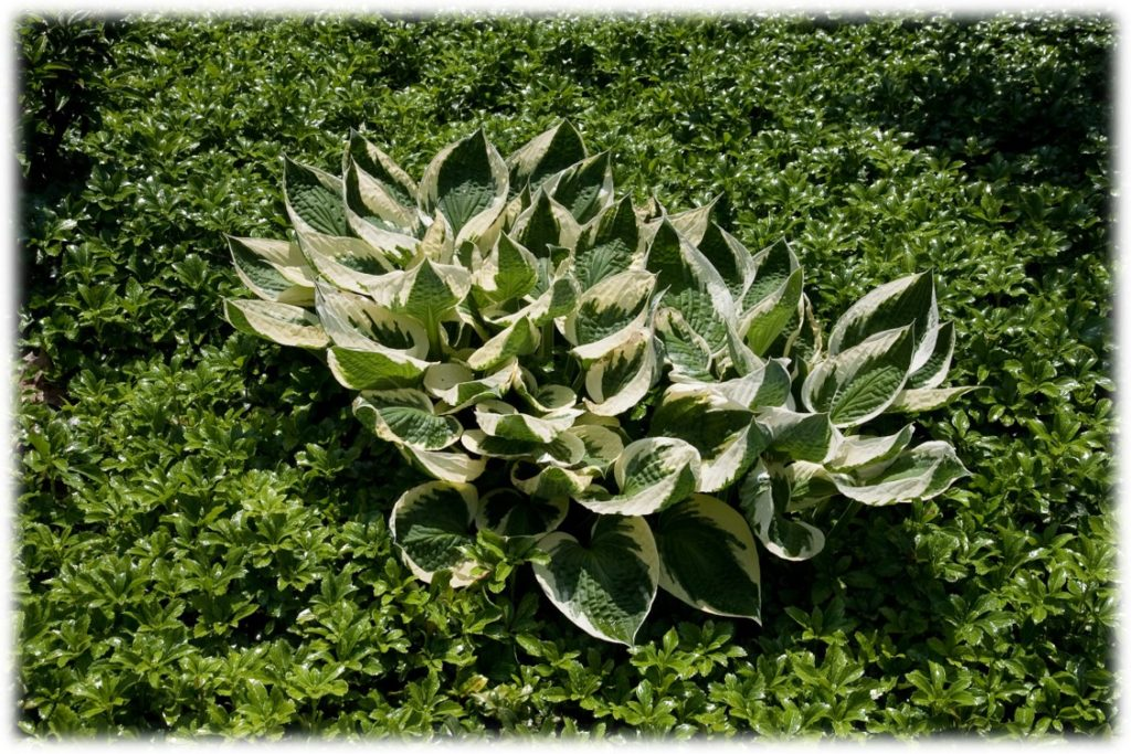 Example of a simple garden bed of Pachysandra with one variegated Hosta planted as a specimen.