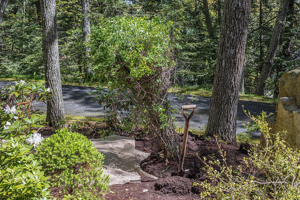 Transplanting a shrub with a garden spade