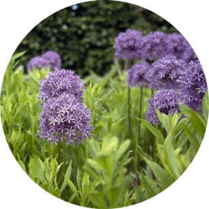 Purple Allium hollandicum