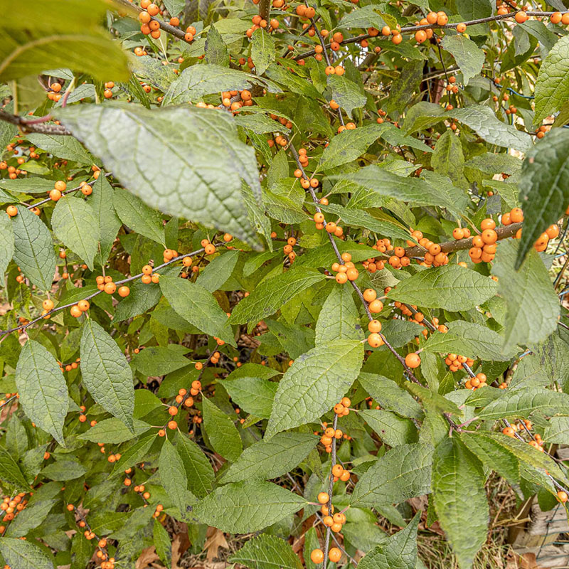 Winterberry variety 'Winter Gold' close up up leaves and golden yellow berries