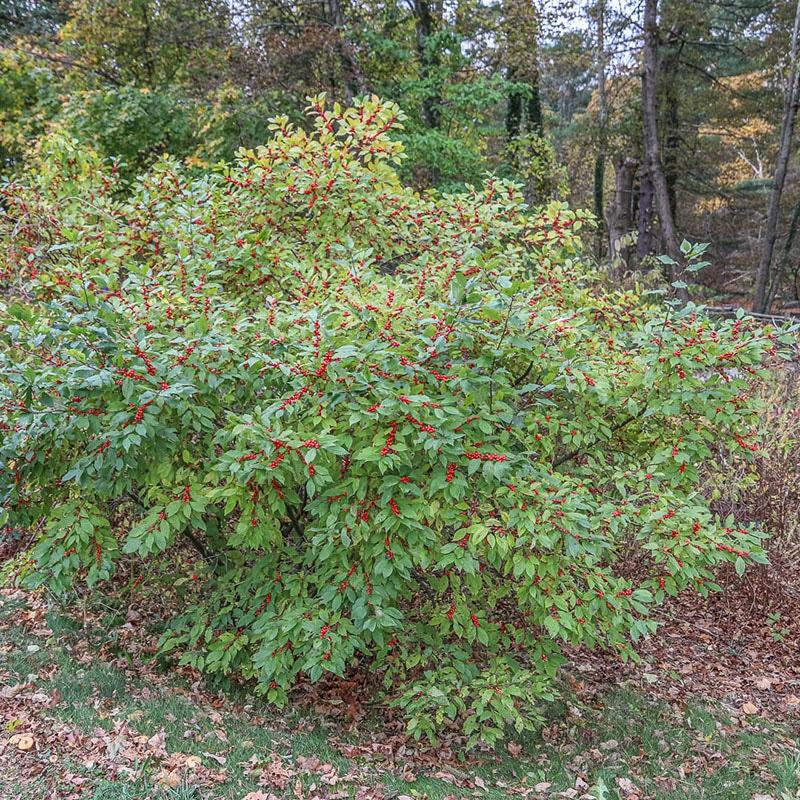 Winterberry bush in the fall