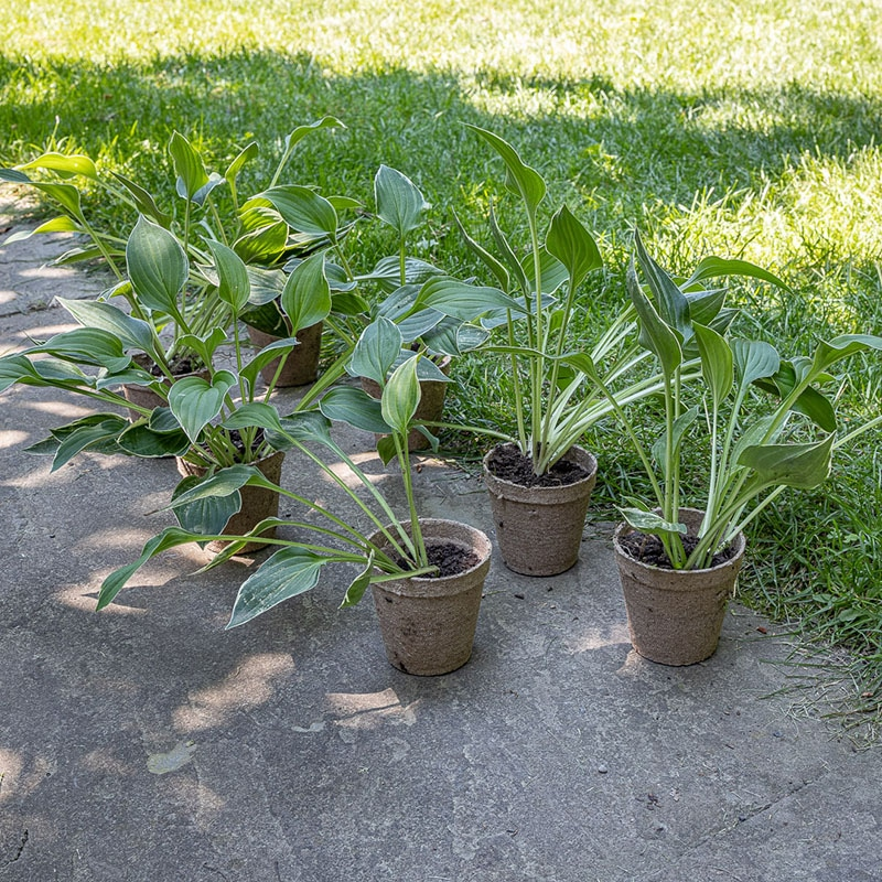 Small peat pots holding divisions of Hosta 'Allan P. McConnell'