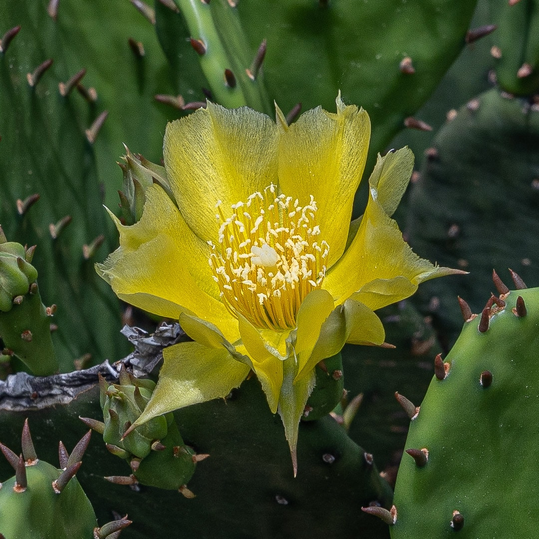 Eastern Prickly Pear Cactus (Opuntia humifusa) showing a close up of a single yellow flower at peak bloom