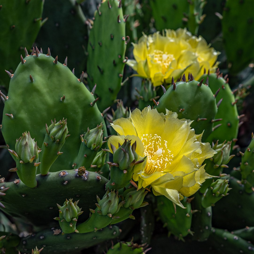 Eastern Prickly Pear Cactus (Opuntia humifusa) with a close up view of two yellow flowers in peak bloom